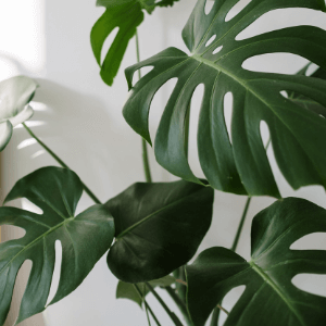go green - monstera